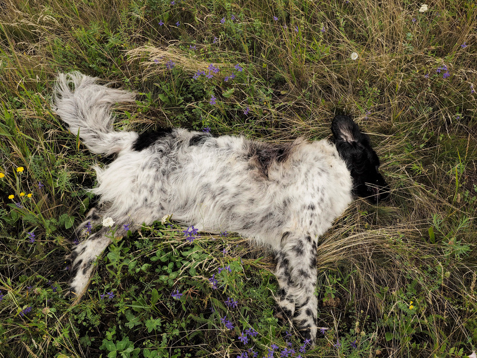 UKRAINE. Torez. July 18, 2014. A dog that was onboard of the MH17 flight. The personal effects of passengers on the flight MH17 scattered at the scene of plane crash. Corps and remains of the plane are found in a radius of aproximately 10 kms.